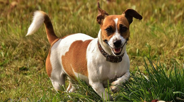 Jack-Russell-Terrier-zelliklerolumlu-800x445-1